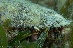 BD-121127-Aqaba-7393-Dardanus-lagopodes-(Forskål.-1775)-[Reef-hermit-crab].jpg